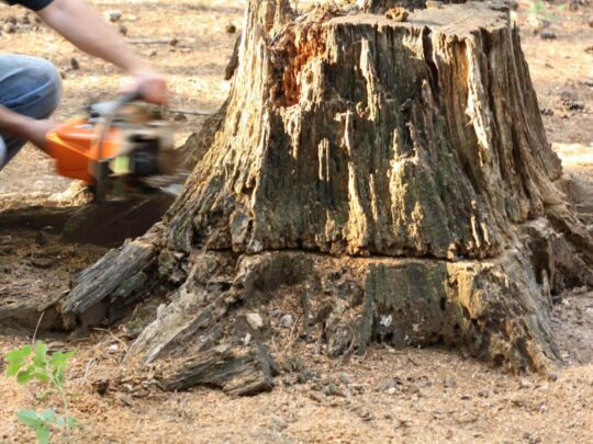 Stump Removal-Lauderdale Lakes FL Tree Trimming and Stump Grinding Services-We Offer Tree Trimming Services, Tree Removal, Tree Pruning, Tree Cutting, Residential and Commercial Tree Trimming Services, Storm Damage, Emergency Tree Removal, Land Clearing, Tree Companies, Tree Care Service, Stump Grinding, and we're the Best Tree Trimming Company Near You Guaranteed!